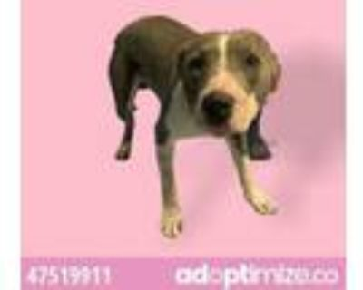 Adopt 47519911 a Pit Bull Terrier, Mixed Breed