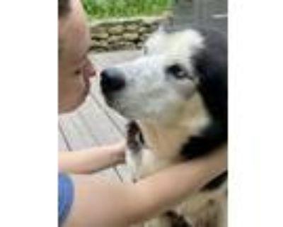 Adopt Roscoe a Siberian Husky, Mixed Breed