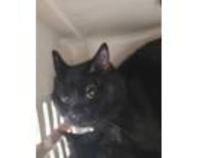 Adopt Boo a Domestic Shorthair / Mixed cat in Golden, CO (32072328)