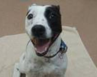 Adopt Jada a White American Pit Bull Terrier / Pointer / Mixed dog in Boulder