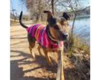 Adopt Mad Eye Moody a Rottweiler / Mixed dog in Austin, TX (31880300)