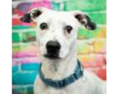 Adopt Jeter Bubbly a Basset Hound, Cattle Dog