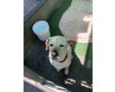 Adopt KOBE a Labrador Retriever