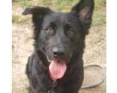 Adopt Mister a Labrador Retriever, Collie