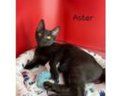Adopt Aster a All Black Domestic Shorthair / Mixed (short coat) cat in Houston