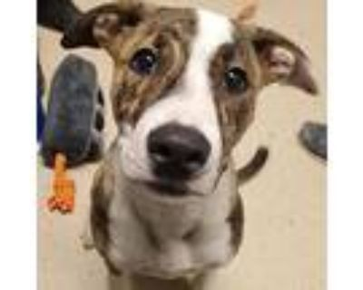 Zsa Zsa, American Pit Bull Terrier For Adoption In Columbia, Missouri