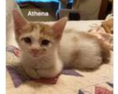 Adopt Athena a Orange or Red Domestic Shorthair / Domestic Shorthair / Mixed cat