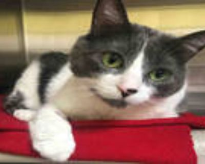 Adopt MARIAN a Gray or Blue (Mostly) Domestic Shorthair / Mixed (short coat) cat