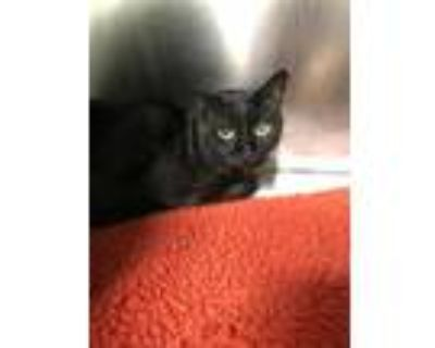 Adopt Thomas a Domestic Shorthair / Mixed (short coat) cat in Fort Myers