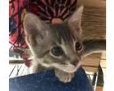 Adopt Great White Shark (pruple) a Domestic Shorthair / Mixed cat in