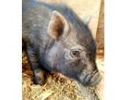 Adopt Kevin a Pig (Potbellied) farm-type animal in Bakersfield, CA (30701965)