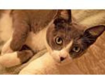 Courtesy Listing: Gracie, Domestic Shorthair For Adoption In Mccormick