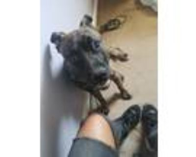 Adopt Tigger a Tan/Yellow/Fawn - with Black American Pit Bull Terrier / Mixed