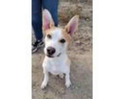 Adopt Rudy a Australian Cattle Dog / Blue Heeler, Pit Bull Terrier