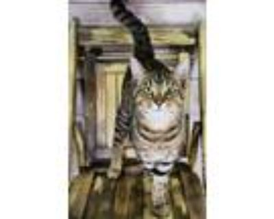 Adopt Theo a Gray or Blue Domestic Shorthair / Domestic Shorthair / Mixed cat in
