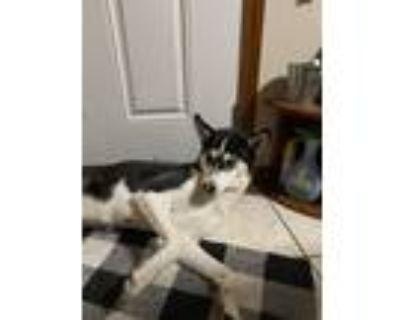 Adopt Sakura a Black - with White Husky / Mixed dog in Pasco, WA (31206200)