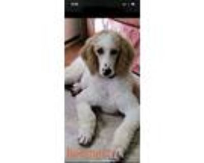 Adopt Beemer a Poodle