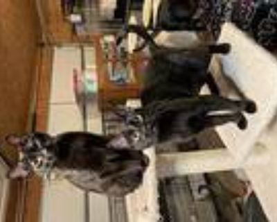 Cole&cammie, Domestic Shorthair For Adoption In Hammond, Louisiana