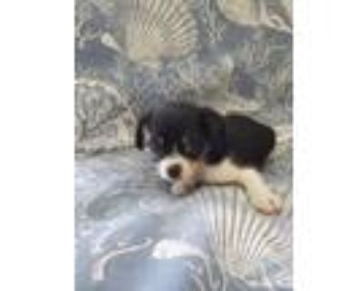 Adopt London a Japanese Chin, Yorkshire Terrier