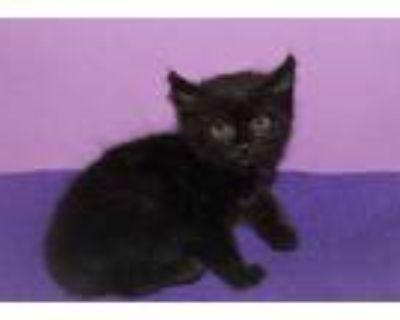 Adopt ANGEL a All Black Domestic Shorthair / Mixed (short coat) cat in Modesto