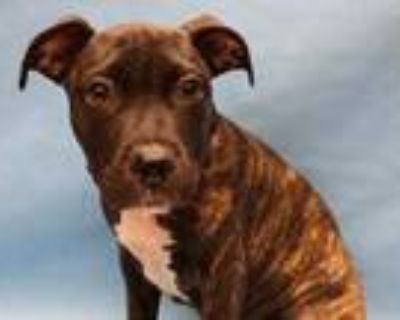 Adopt Janetta a Brindle American Pit Bull Terrier / Mixed dog in Coon Rapids