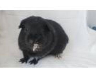 Adopt MR.GINNYGINNY a Guinea Pig