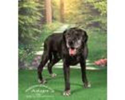 Adopt Rudy (hot diggity dog Dudy) a Labrador Retriever / Mixed dog in Tampa