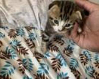 Scottish Fold Kitties