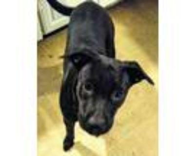 Adopt Bella a Black - with White Boxer / Labrador Retriever / Mixed dog in