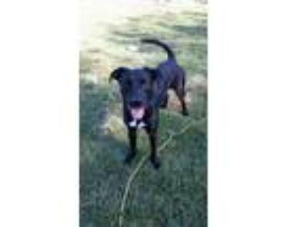 Adopt Jeter a Black - with White Labrador Retriever / Boxer / Mixed dog in San