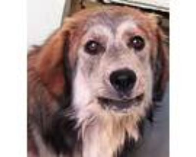Adopt Teddy a Tricolor (Tan/Brown & Black & White) Collie / Mixed dog in