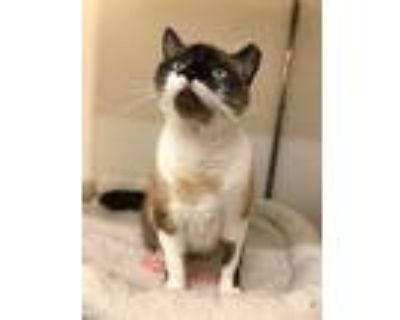Adopt CHARLIE a Brown or Chocolate (Mostly) Siamese / Mixed (short coat) cat in