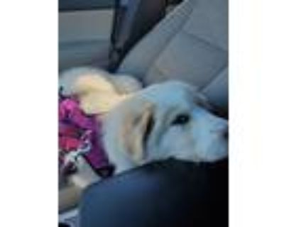 Adopt Millie a White Great Pyrenees / Mixed dog in Sharon, MA (31608080)