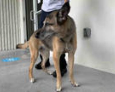 Adopt SOMBRA a Brown/Chocolate German Shepherd Dog / Mixed dog in Doral