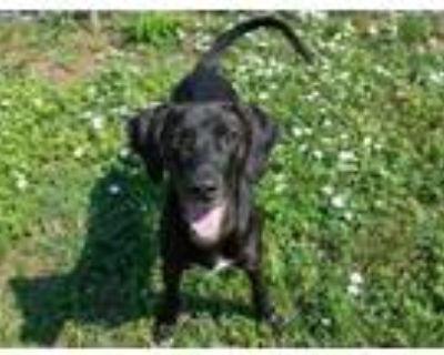 Adopt MONK a Labrador Retriever, Mixed Breed