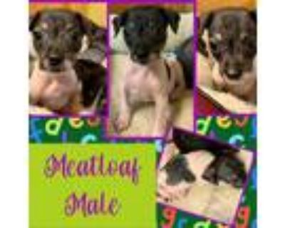 Adopt Meatloaf a Black Miniature Pinscher / Rat Terrier / Mixed dog in El