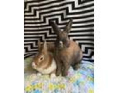 Adopt Donna a Tan Dutch / Other/Unknown / Mixed rabbit in Oak Pak, IL (31104466)