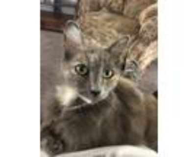 Adopt Candy a Calico or Dilute Calico Calico / Mixed (long coat) cat in Fair