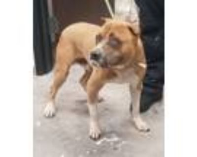 Adopt 94492 a Pit Bull Terrier