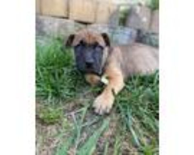 Adopt Prissy a Brown/Chocolate - with Black Labrador Retriever / Mixed dog in