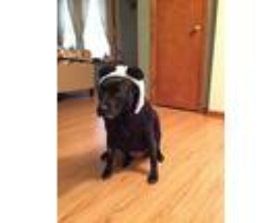 Sadie, Labrador Retriever For Adoption In Columbia, Missouri