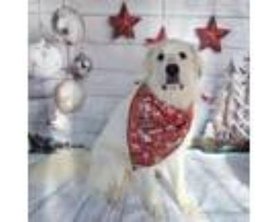 Adopt Mila a Great Pyrenees