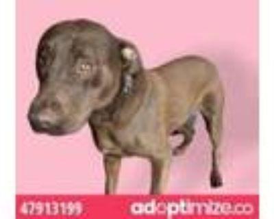 Adopt 47913199 a Tan/Yellow/Fawn Labrador Retriever / Mixed dog in El Paso
