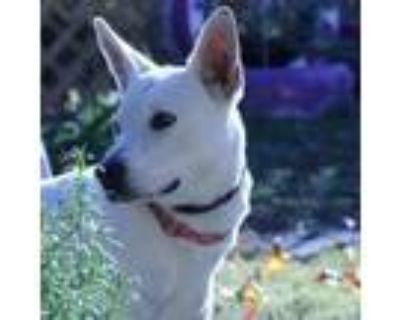 Adopt 20-114 Latte a White - with Tan, Yellow or Fawn Labrador Retriever dog in
