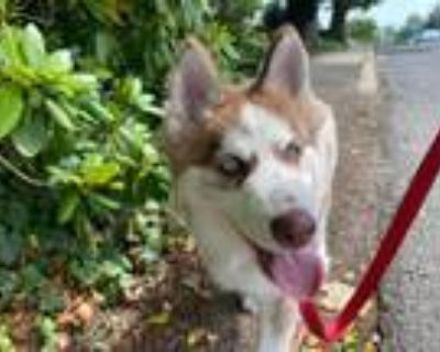 Adopt Rosco a White - with Tan, Yellow or Fawn Siberian Husky / Mixed dog in