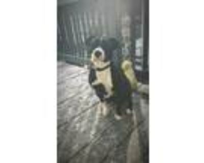 Adopt Rizzo a Black - with White Staffordshire Bull Terrier / Mixed dog in