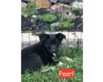 Adopt Pearl a Black - with Tan, Yellow or Fawn Australian Shepherd / Shepherd