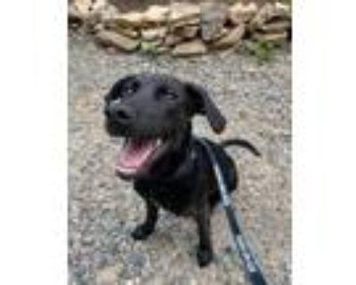 Adopt WILLIE a Black Labrador Retriever / Mixed dog in Rockville, MD (32129998)