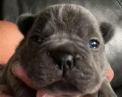 French Bulldog Puppies - Blue