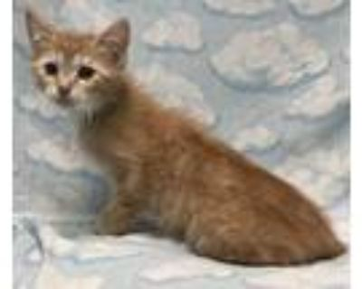Henry, Domestic Shorthair For Adoption In New Albany, Indiana